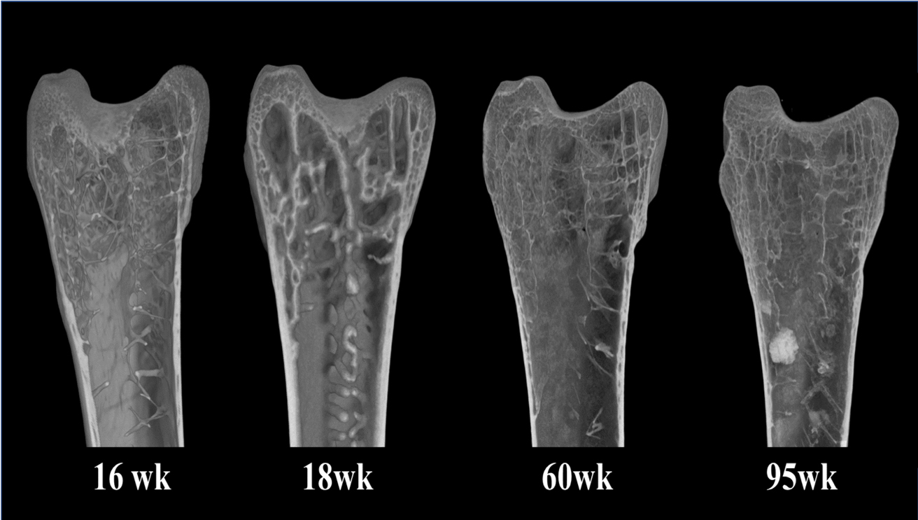 Bone scans show the deterioration of bone in a hen over the course of its lifespan.
