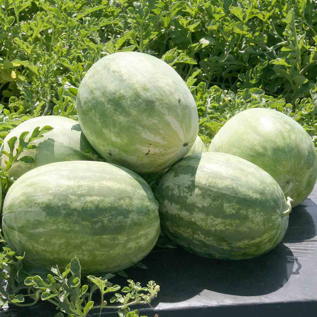 Georgia is a national leader in watermelon production, ranking second or third each year. The crop's farm gate value was $180 million in 2019.