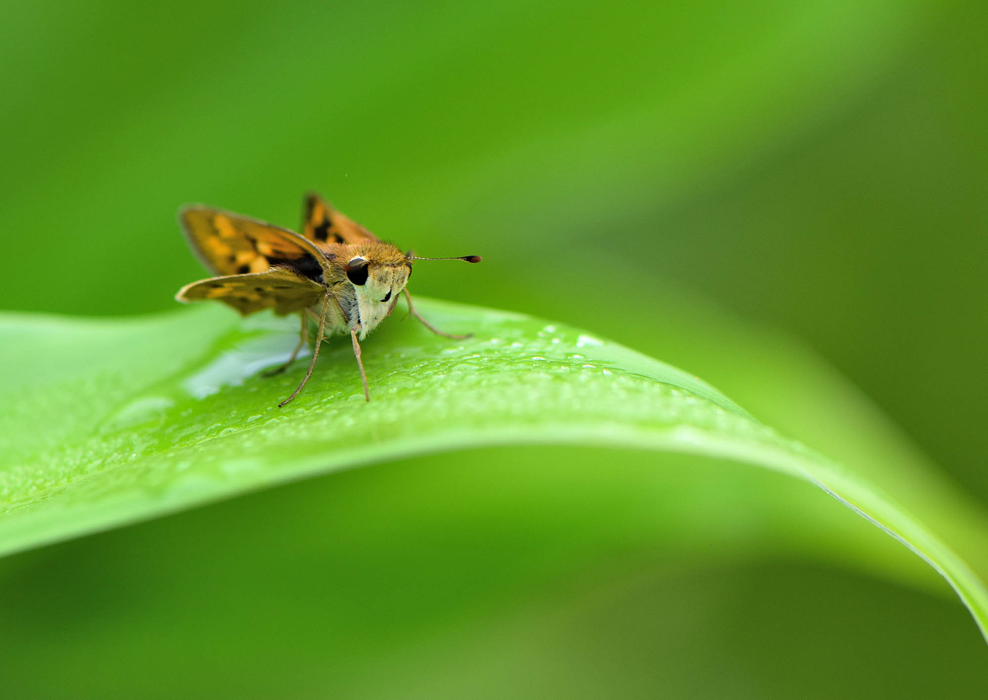 A skipper butterfly at the State Botanical Garden of Georgia. (photo by Olivia Smith/UGA)
