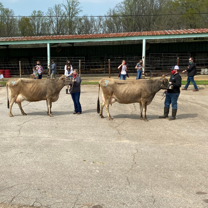 Georgia 4-H'ers participate in the 2021 State Dairy Judging Contest