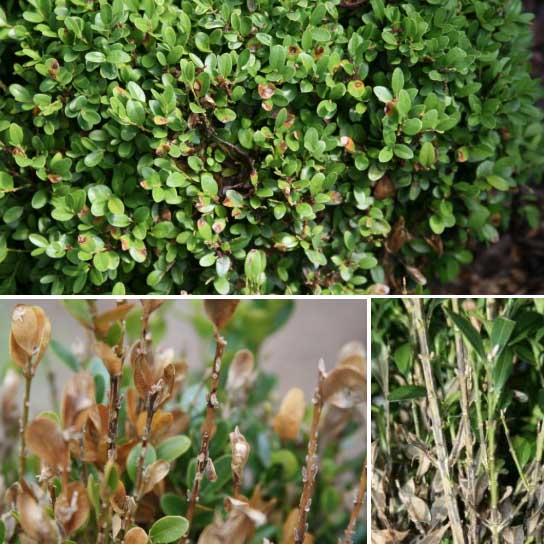 Landscape Plant Diseases