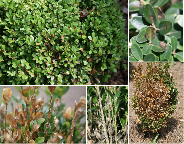Boxwood blight symptoms clockwise from upper left: tan to gray leaf lesions with a darker purplish border on an English boxwood; circular, tan spots with a brown border on upper leaves; tan blighted leaves and bare stems on an infected plant; blackening of stems and browning foliage; and black stem lesions on bare branch tips. (photos by Jean Williams-Woodward)