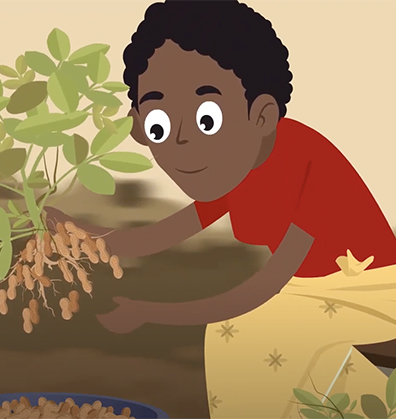 The Peanut Innovation Lab has posted the second in a pair of animations giving farmers valuable advice on growing groundnut. This edition focuses on late-season information related to harvest and storage, and might be shown together with the first animation or separately.