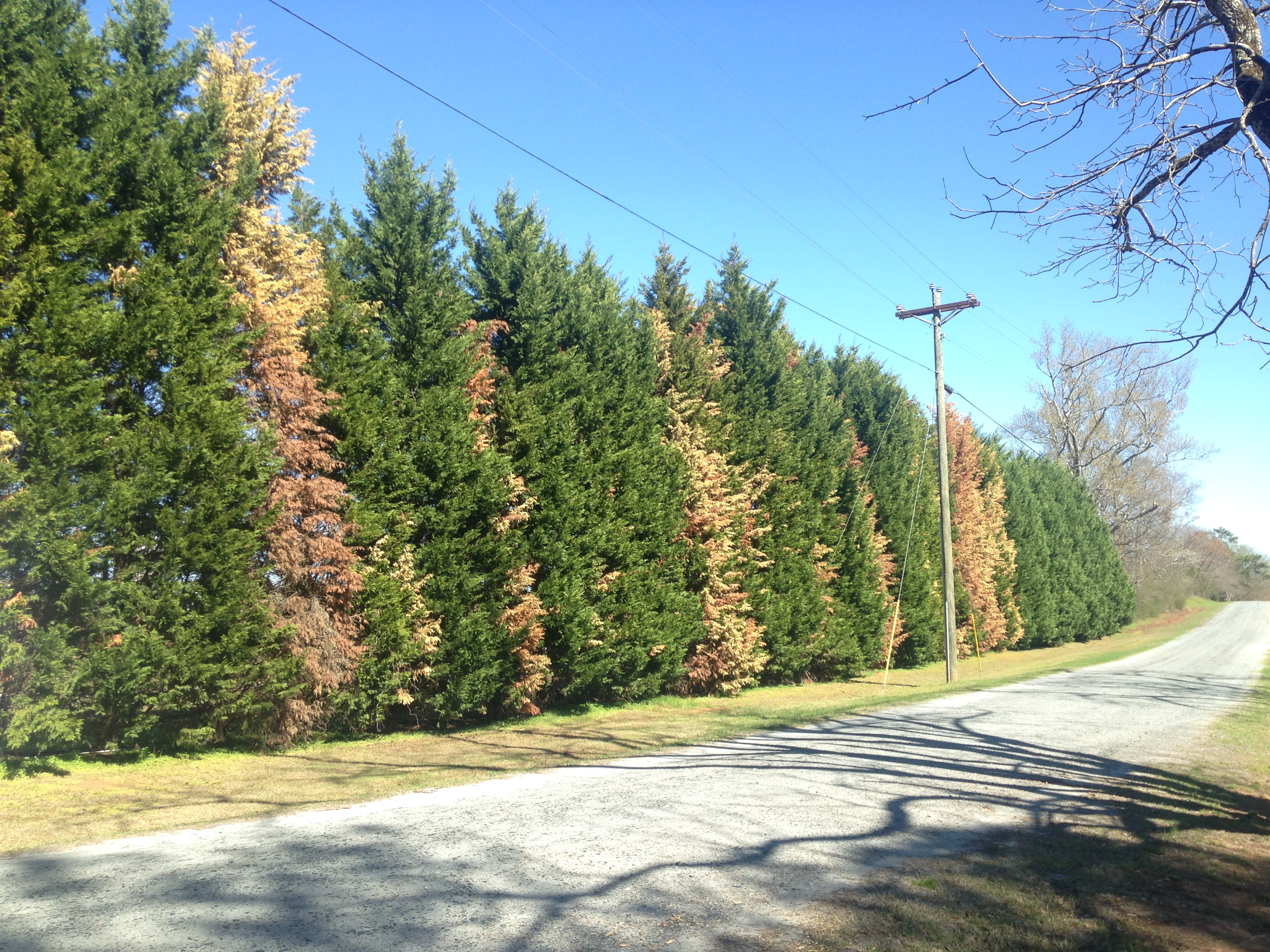 If a Leyland cypress is showing a lot of brown branches or thinning canopy, there's not much you can do to save it, according to UGA experts. (Photo by Jean Williams-Woodward)