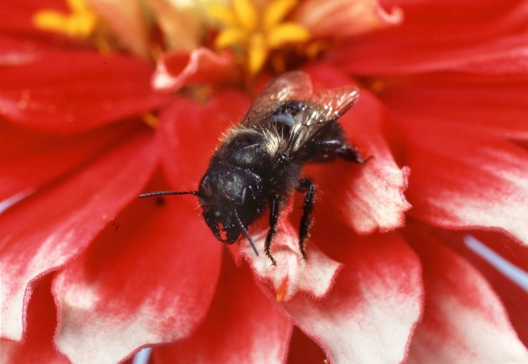 The blue orchard mason bee or Osmia lignaria. (Photo: Scott Bauer, USDA Agriculture Research Service, Bugwood.org)