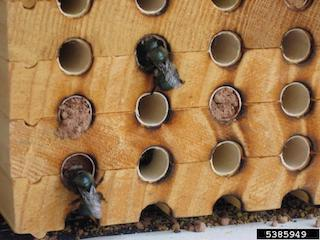 As mason bees nest, they create a series of chambers. Called cells, these compartments contain one egg and are separated off with mud. As a result, mason bees routinely interact with the soil until the nesting is complete. (Photo: Scott Famous, Department of Defense, bugwood.org)