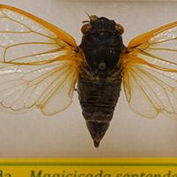 17-year cicadas have dark bodies and when living, bright red eyes.