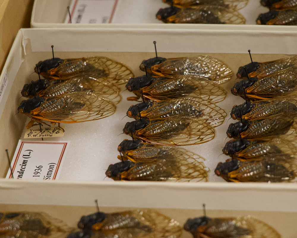 A brood of decades-old 17-year cicadas that have been perfectly preserved.