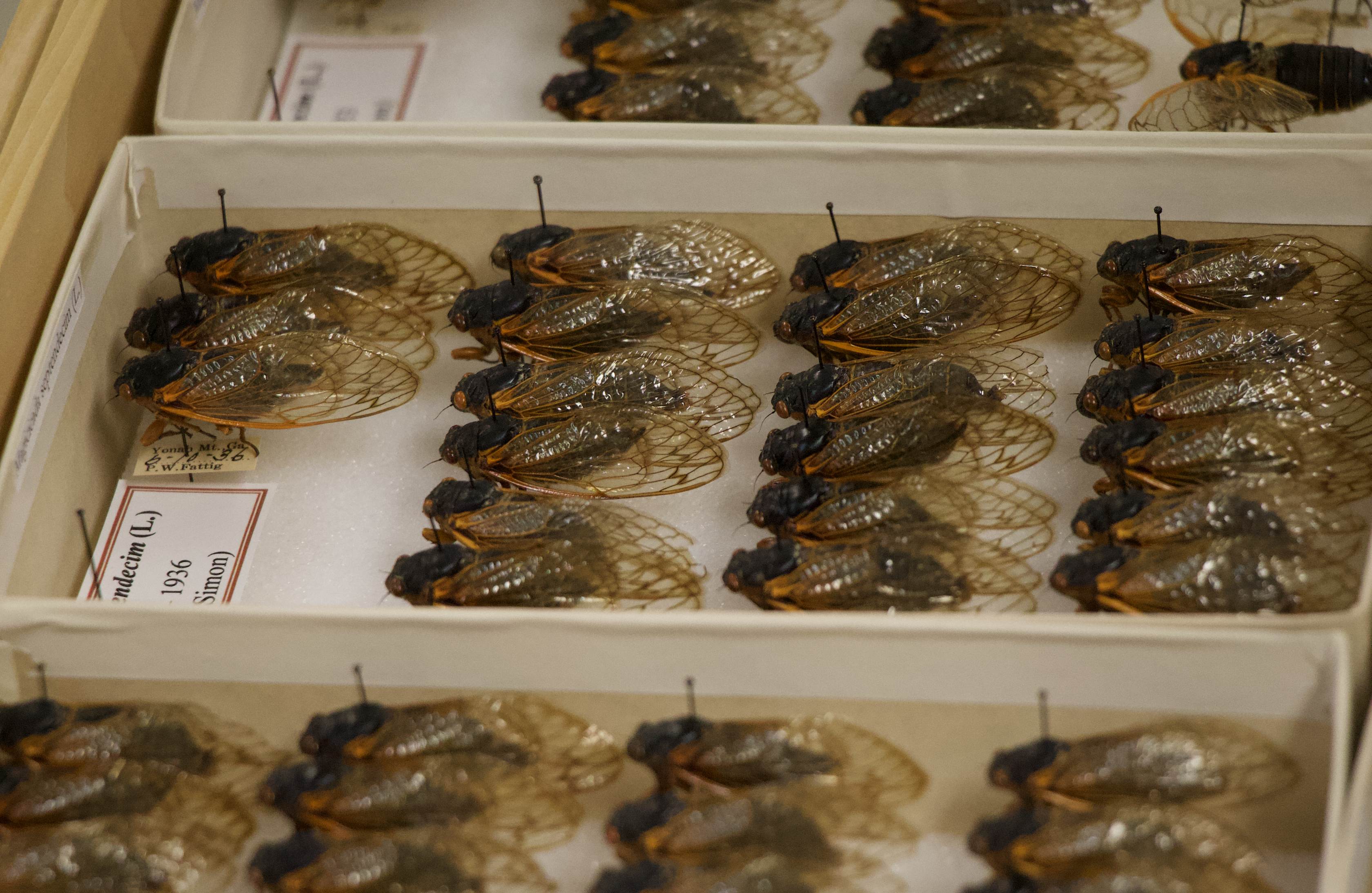 A brood of 17-year cicadas displayed in a collection at the Georgia Museum of Natural History, located on the UGA campus.