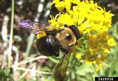 Although bumble bees and carpenter bees are often mistaken for one another, bumble bees have a hairy abdomen while carpenter bees, such as the one pictured, have a bare, shiny black abdomen.