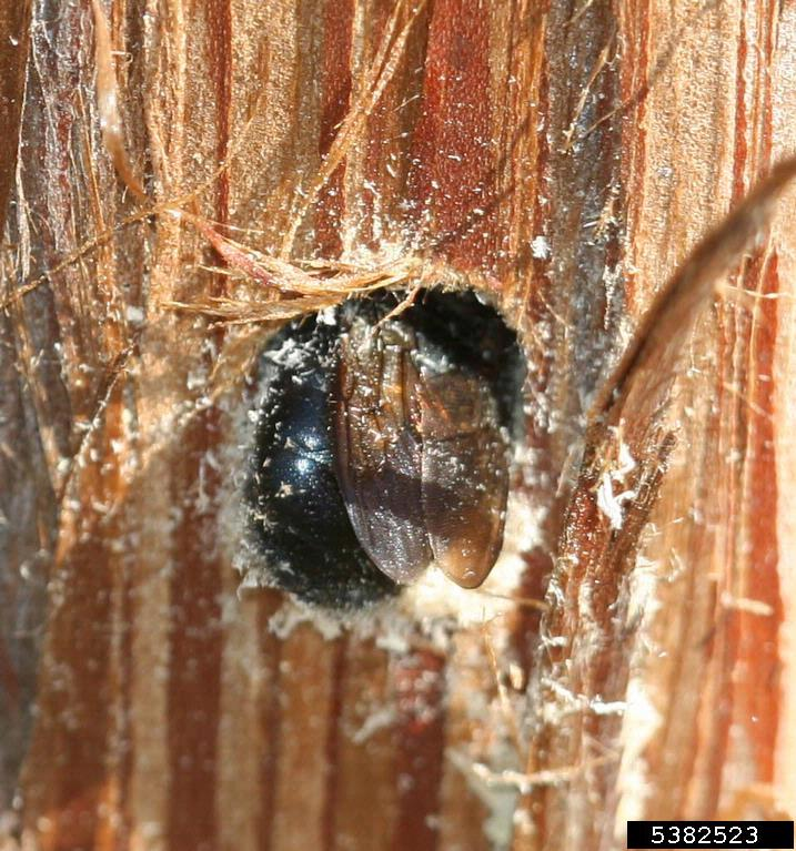 Carpenter bees gnaw tunnels in wood to create nesting sites and overwinter in the tunnels.