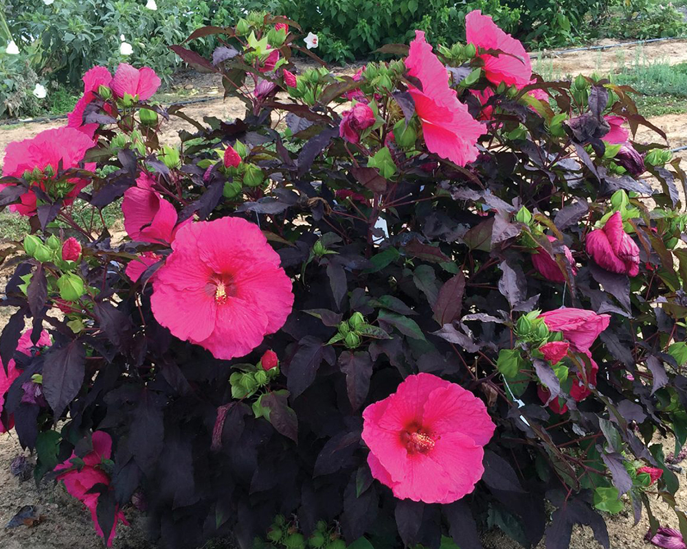 The Passion hibiscus, developed by UGA plant breeder John Ruter, has burgundy and red leaves and bright-green flower buds that bloom into massive pink flowers.