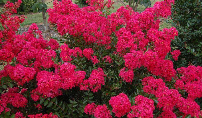 razzledazzle®dwarfcrapemyrtles是由UGA园艺师和育种者迈克尔A. Dirr开发的。草莓炫彩品种爆发成美丽,霓虹玫瑰盛开。