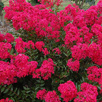 The Razzle Dazzle® dwarf crapemyrtles were developed by UGA horticulturist and breeder Michael A. Dirr. The Strawberry Dazzle variety pictured bursts into beautiful, neon-rose blooms.