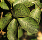 Black spots, like those seen on these crape myrtle leaves, are a sign of insect damage.  It is not really a disease, but a black fungal coating called sooty mold.
