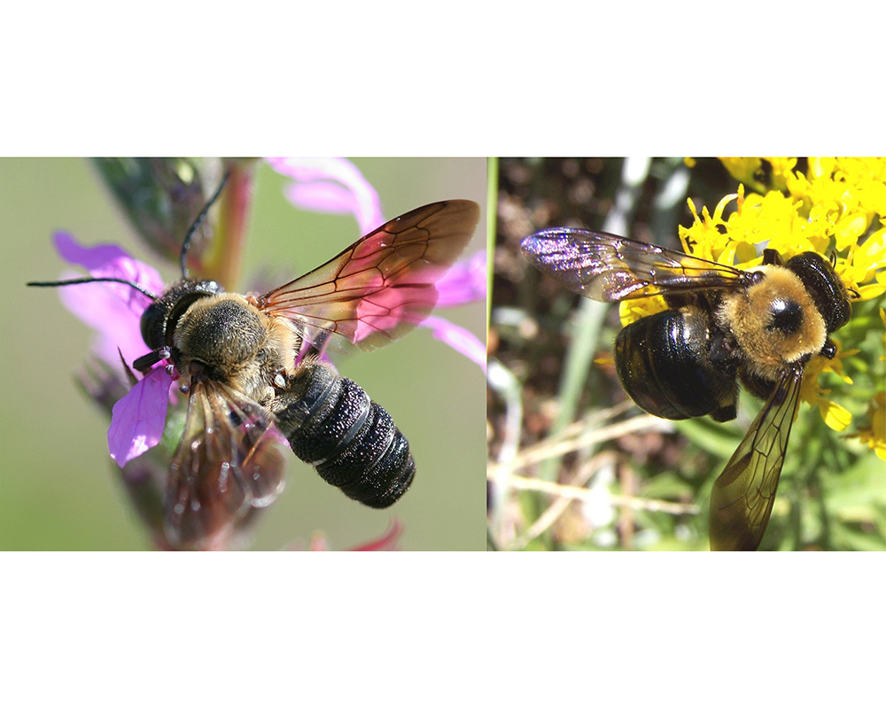 In the sculptured resin bee (left), females have a pointed abdomen, while the males have a blunt edge. Both males and females have a striated abdomen with raised bands. The thorax and abdomen of the carpenter bee (right) are connected, bald and smooth.