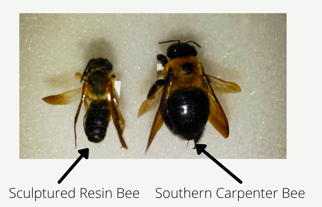 The sculptured resin bee and carpenter bee are similar in size, but the carpenter bee's thorax and abdomen are connected while the sculptured resin bee has a striated abdomen with raised bands.