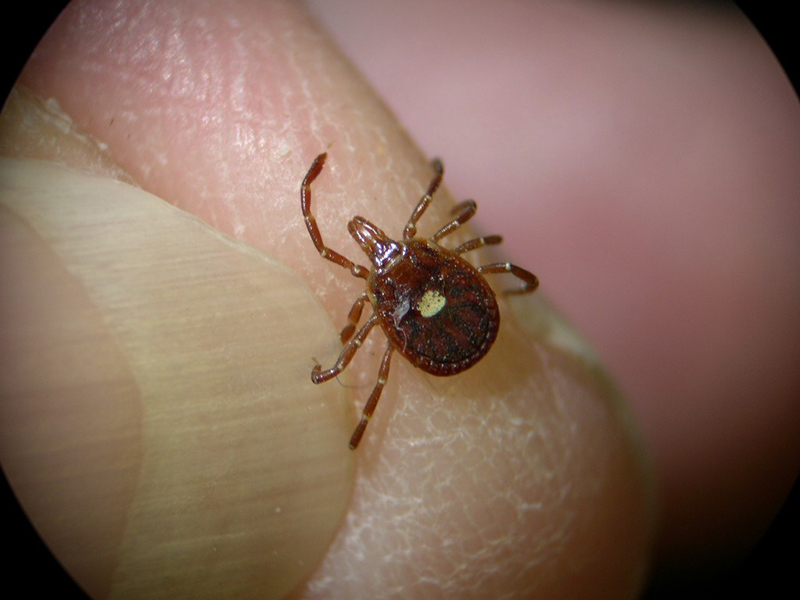 Domestic cats become infected with bobcat fever after being bitten by an infected Lone Star tick (Amblyomma americanum). A female Lone Star tick is shown here on a fingertip for size.