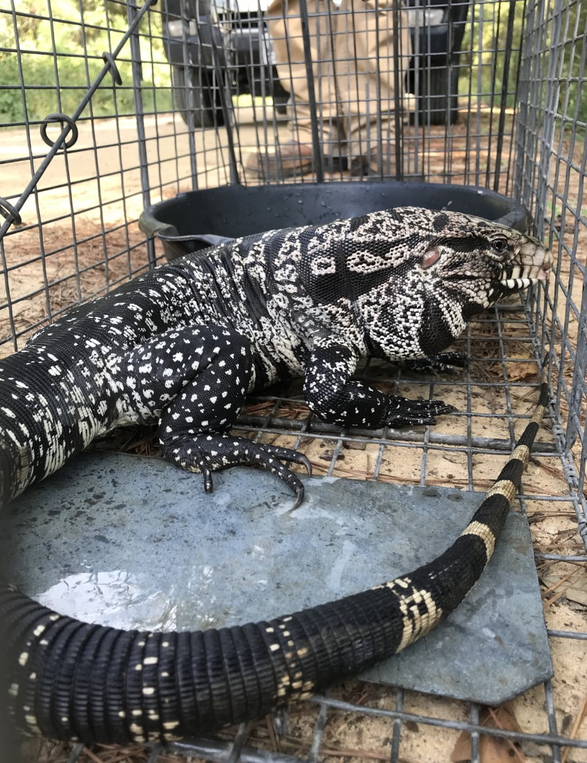 Argentine black and white tegus, the largest of all tegus, can reach 4 feet long and weigh 10 pounds or more.