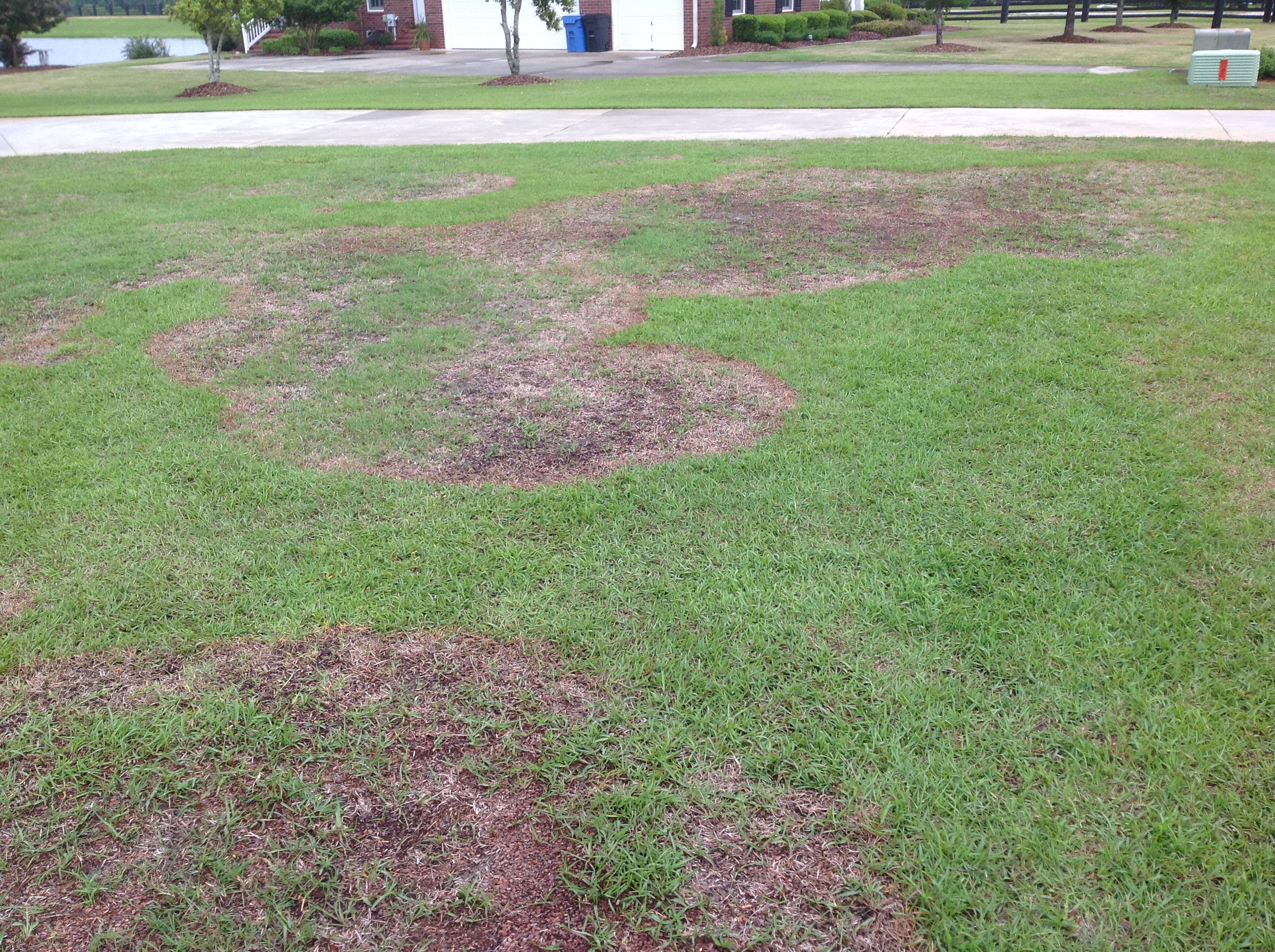 Large patch disease, pictured here, can infect all warm-season turfgrasses, but centipede, St. Augustine, and zoysia are particularly susceptible.