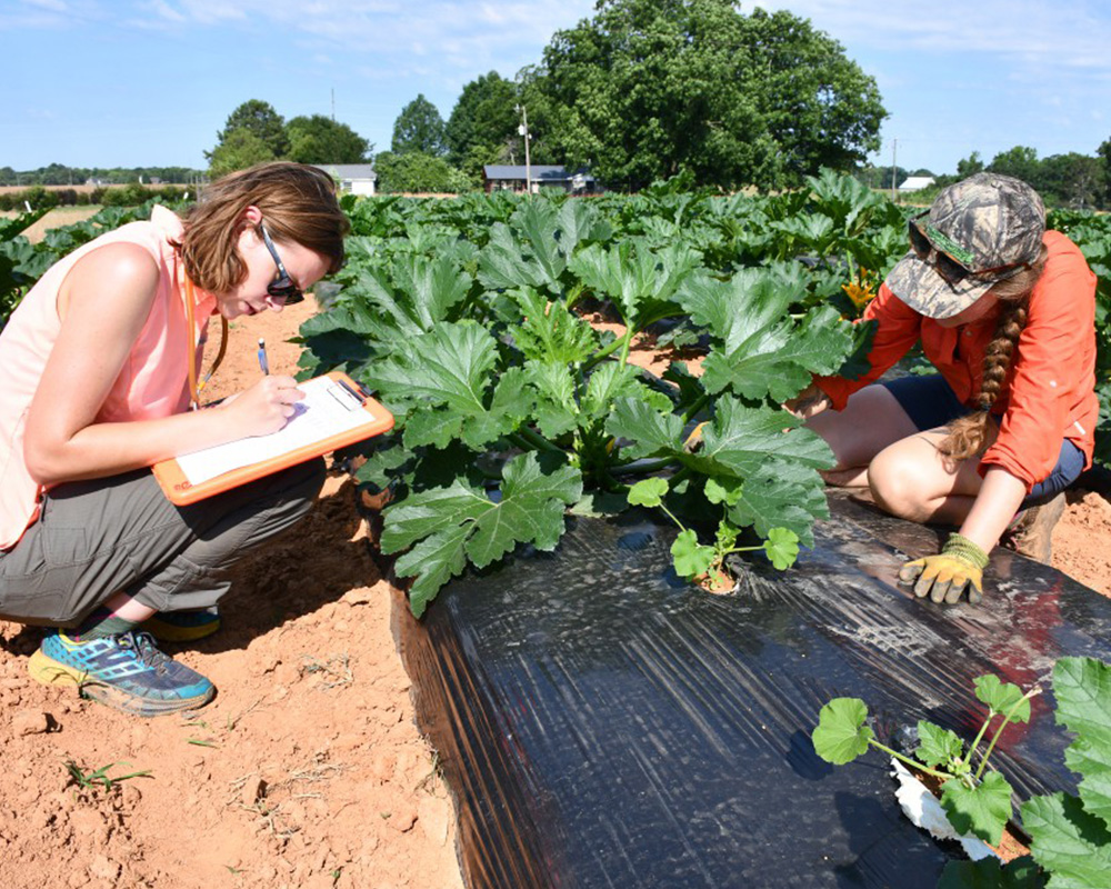 Blubaugh Lab manager Katherine Hagan and master's student Allison Stawara scout squash for various beneficial and pest insects as part of a living mulch study at the Durham Horticulture Research Farm in Watkinsville, Georgia.