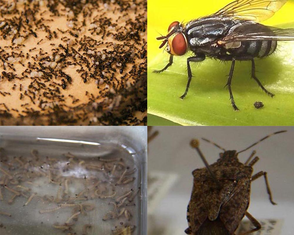 Common seasonal pests like (clockwise from top right) fire ants, houseflies, brown marmorated stink bugs and mosquitos (shown in standing water as larvae) can be controlled with simple tips from UGA Cooperative Extension.