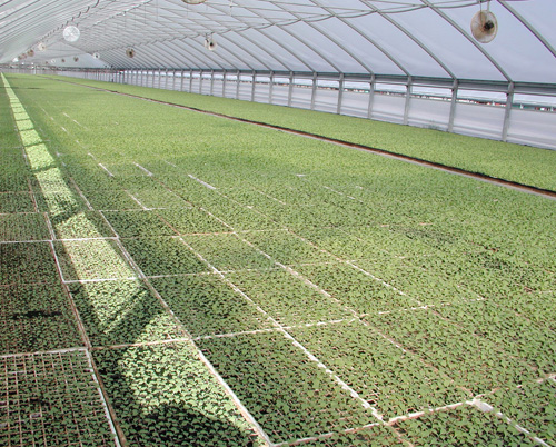 Tobacco Greenhouse
