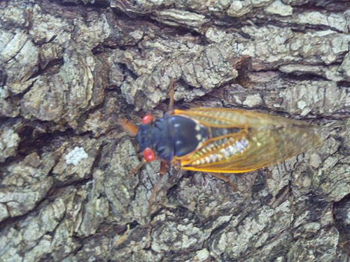 A 13-year cicada lites on a tree in a Butts Co. home in 2011.