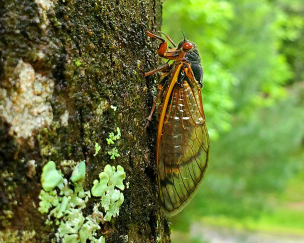 After molting into adults, periodical cicadas will move or fly to nearby vertical structures, especially shrubs and trees. The females will eventually lay their eggs on the ends of tree branches.