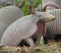 Armadillos can wreak havoc in a lawn literally overnight by burrowing through the landscape. To get rid of the pests, you either have to trap them for release elsewhere or dispatch them.
