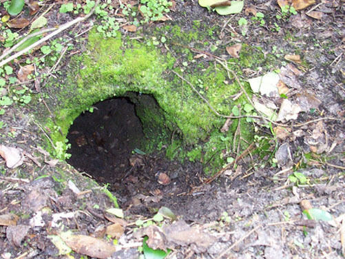 Armadillo burrow