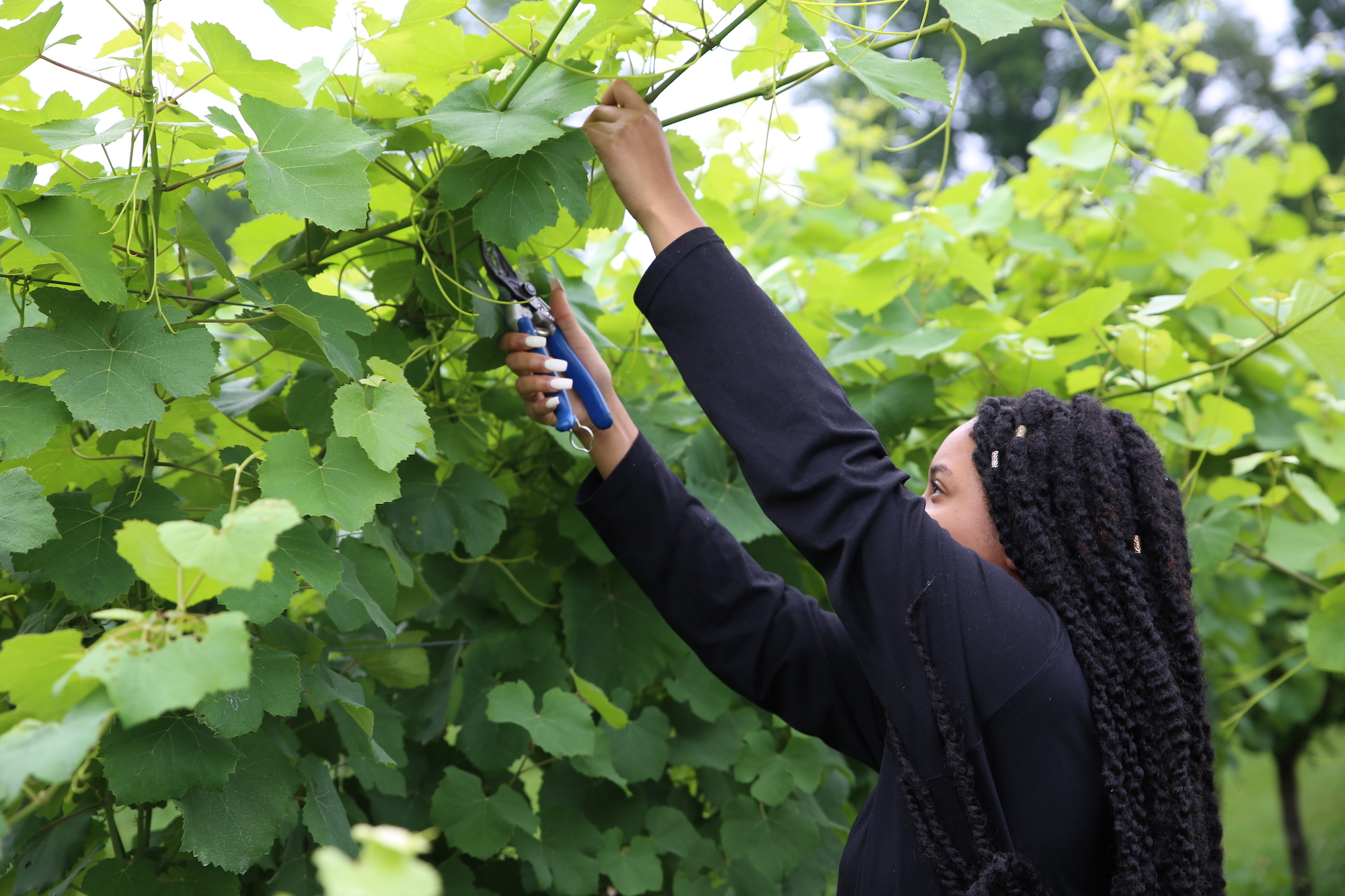 Diamond Clark cuts a vine from a row at Stonewall Creek Vineyards in Tiger, Georgia.