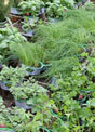 Parsley, rosemary, thyme, chives and oregano plants wait to be installed in a square foot garden plot.