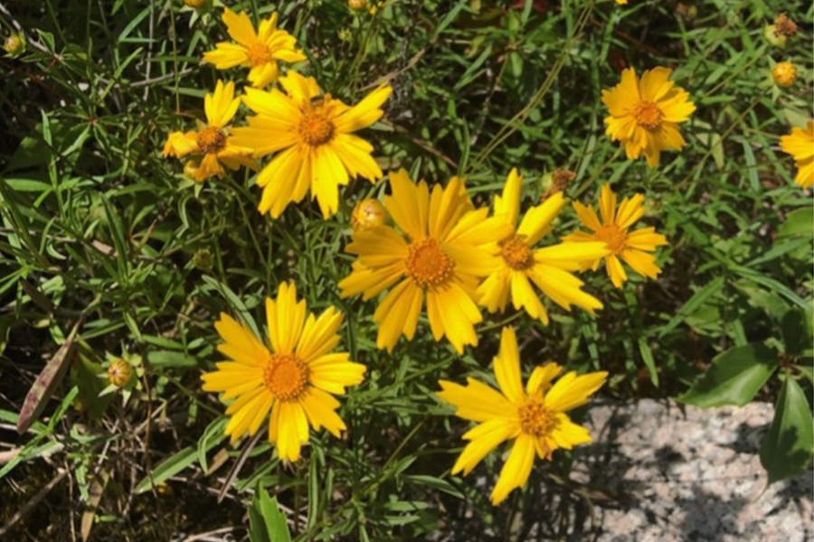 Coreopsis, a bright yellow flower native to the U.S., blooms in a patch