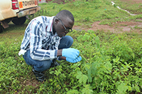 Henry Ssendagire, a master's student at Makerere University in Kampala, Uganda, is collecting plants that also can be infected with Groundnut Rosette Virus, a disease that can destroy peanut crops. By finding the plants that host the disease in the off-season, scientists can give farmers a management strategy to help fight the disease.