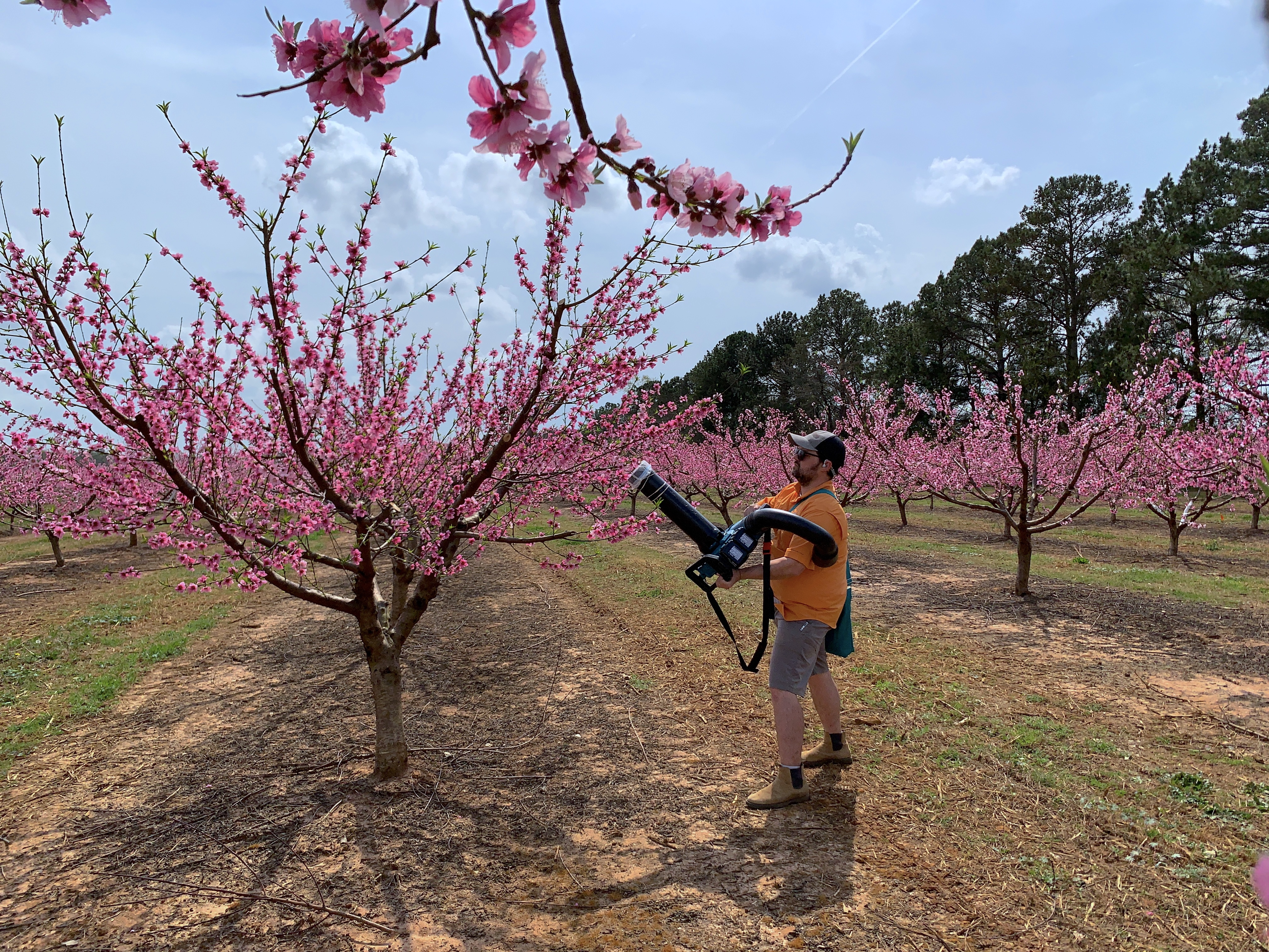 UGA entomologist Brett Blaauw takes a sample from the branch of a peach tree.
