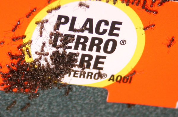 Argentine ants feeds on Terro liquid bait
