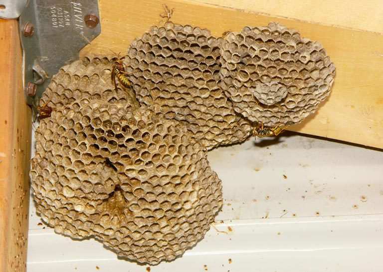 Common paper wasps nest