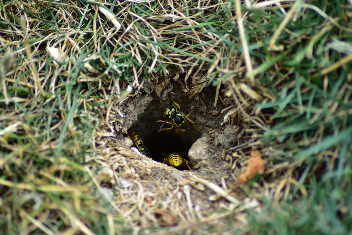 Yellow jackets leaving an underground nest