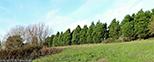 Leland Cypress