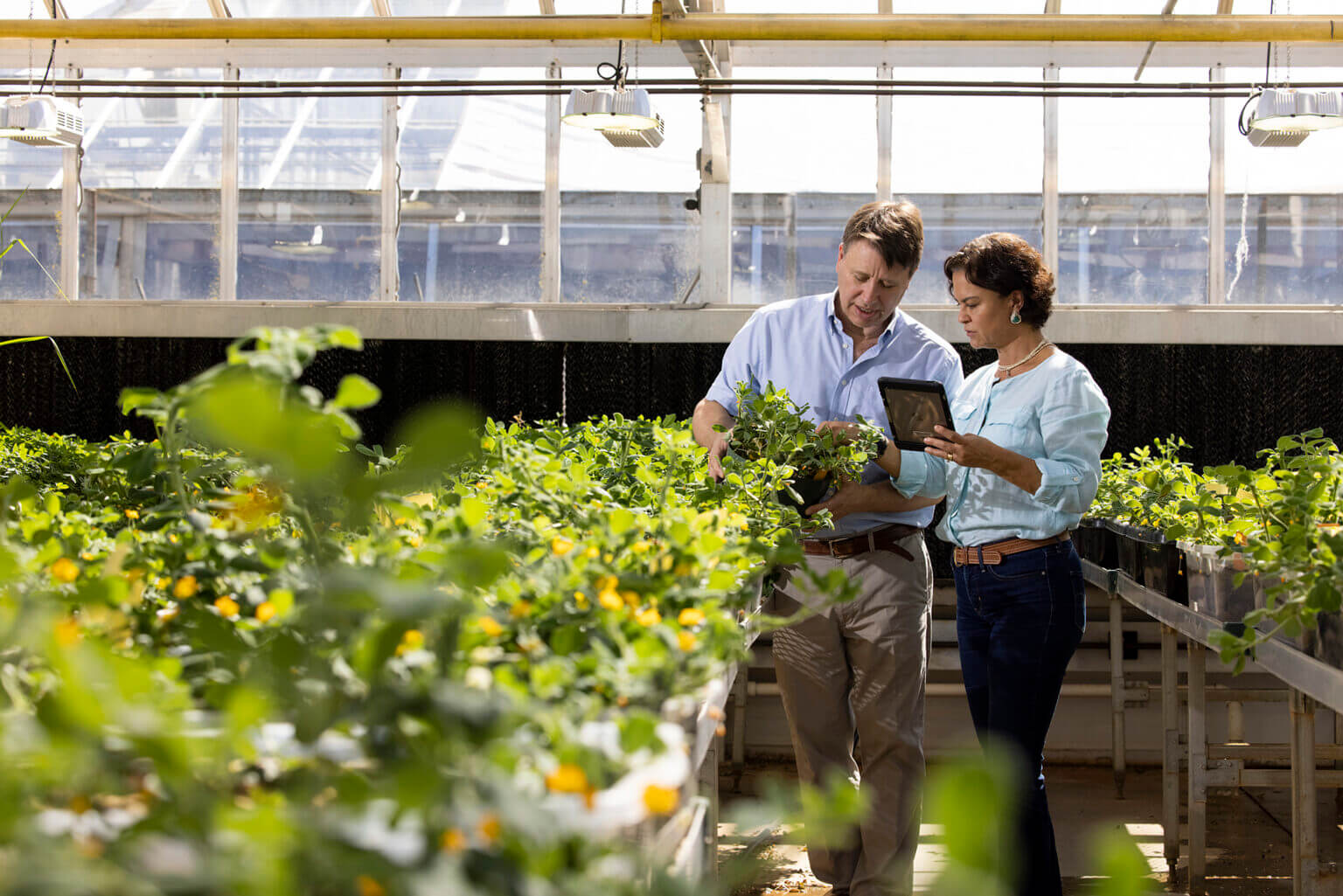 Professor David Bertioli and his wife, Soraya Leal-Bertioli, senior research scientist, work together with peanut plants in their greenhouses at the Center for Applied Genetic Technologies. (Photo by Andrew Davis Tucker/UGA)