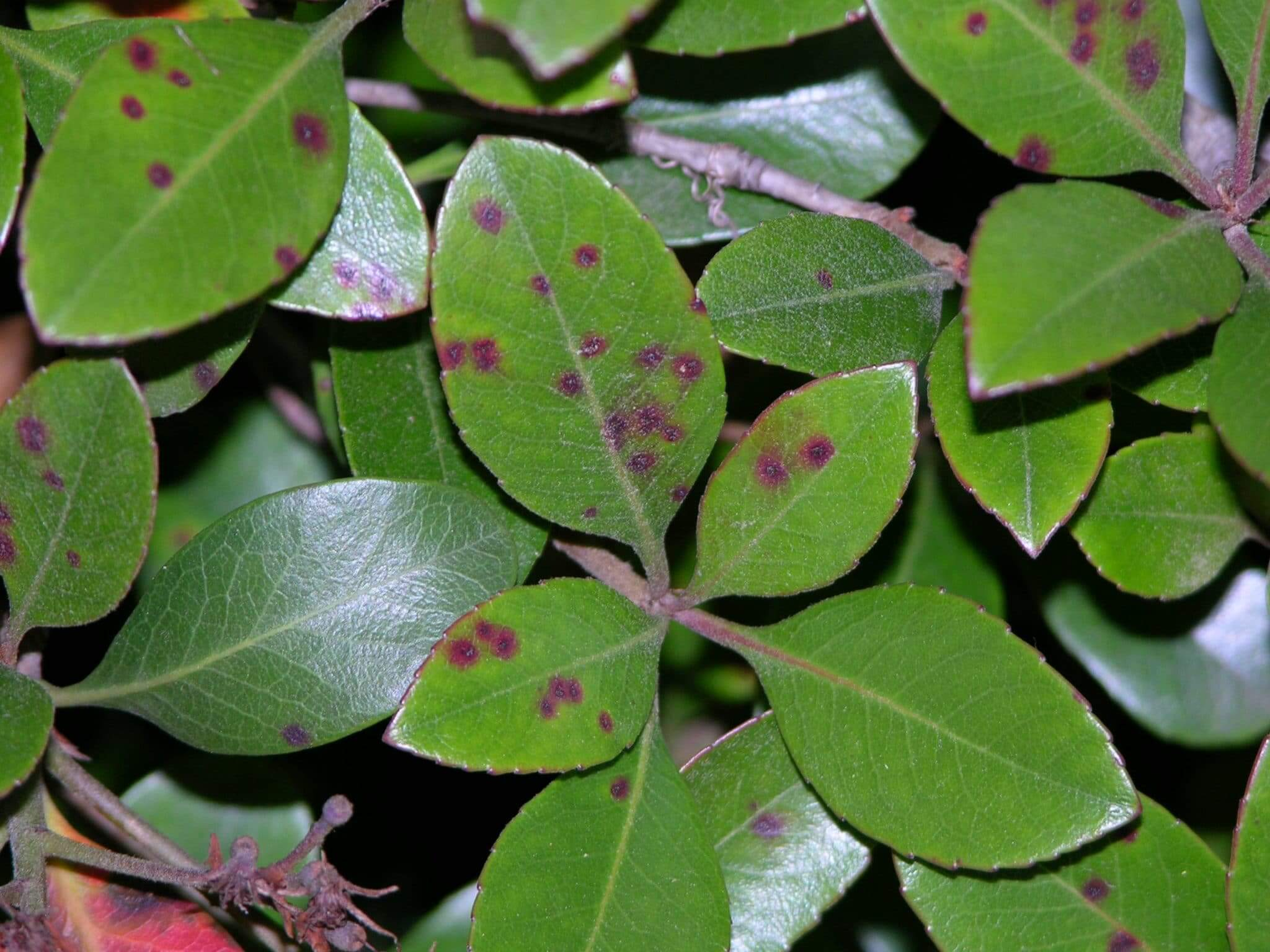 Small reddish leaf spots initially, and as spots age, center is grayish with a purple border.