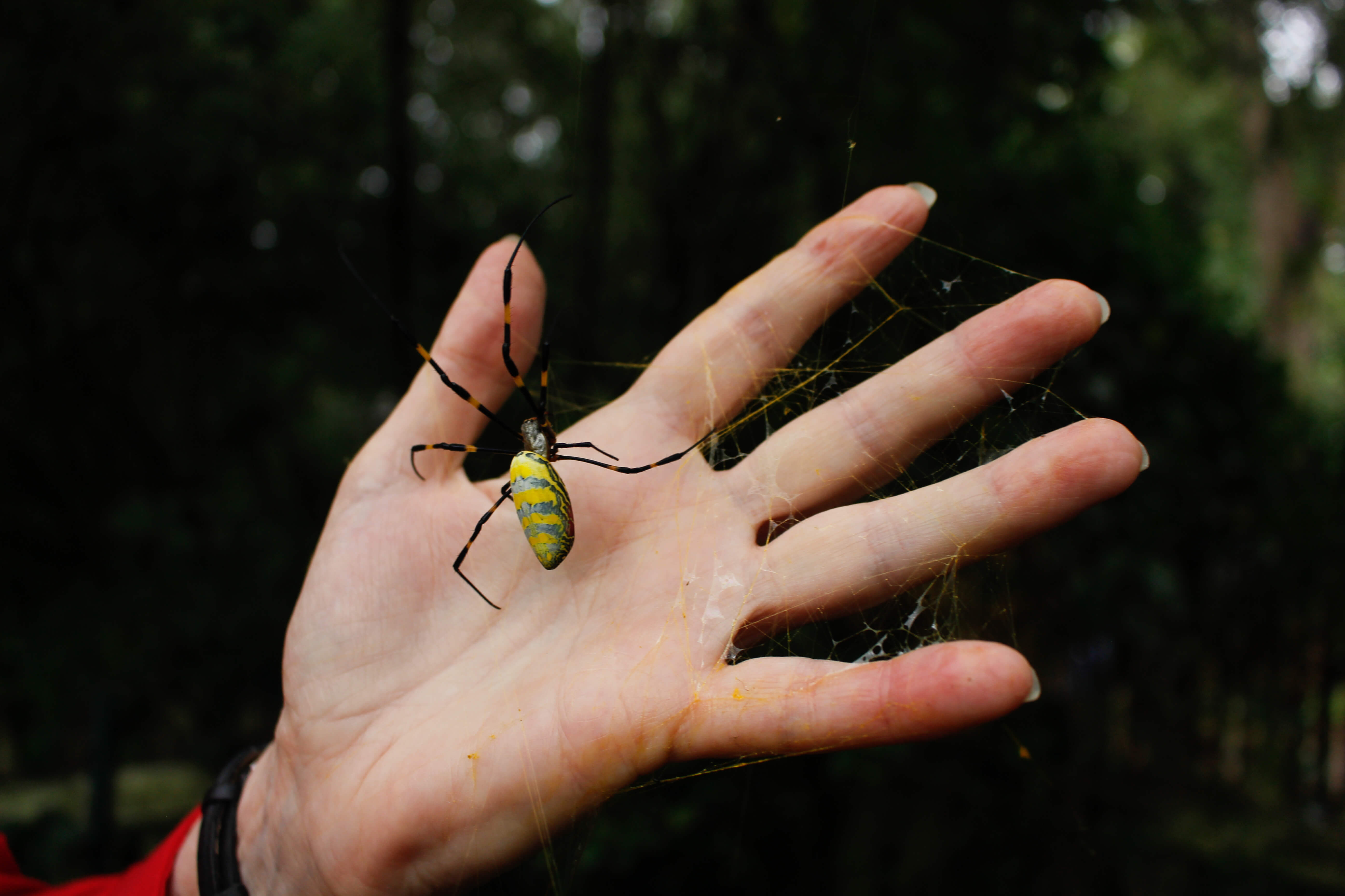 Joro spider compared to adult female's hand