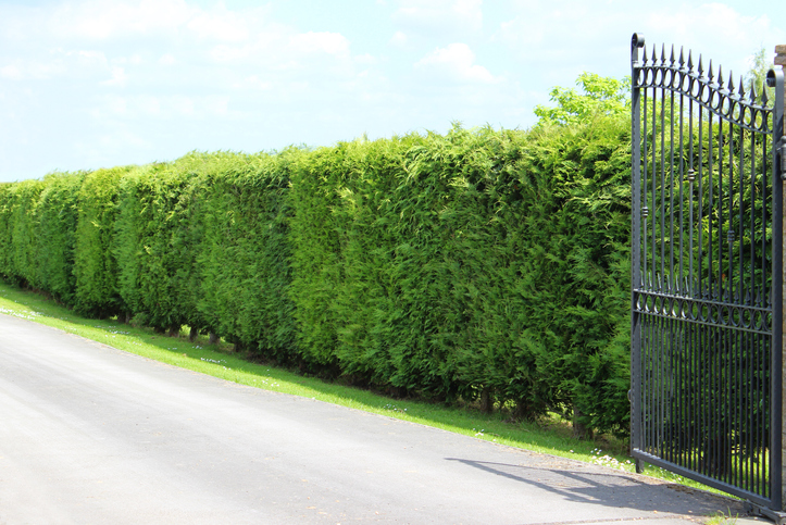 Tall Leyland cypress / Cupressus x Leylandii hedge in a sunny front garden, beneath a blue cloudy sky. This hedge is pictured in the late spring, with fresh growth just starting to appear. An ornate iron gate painted black makes a grand entrance to the driveway.