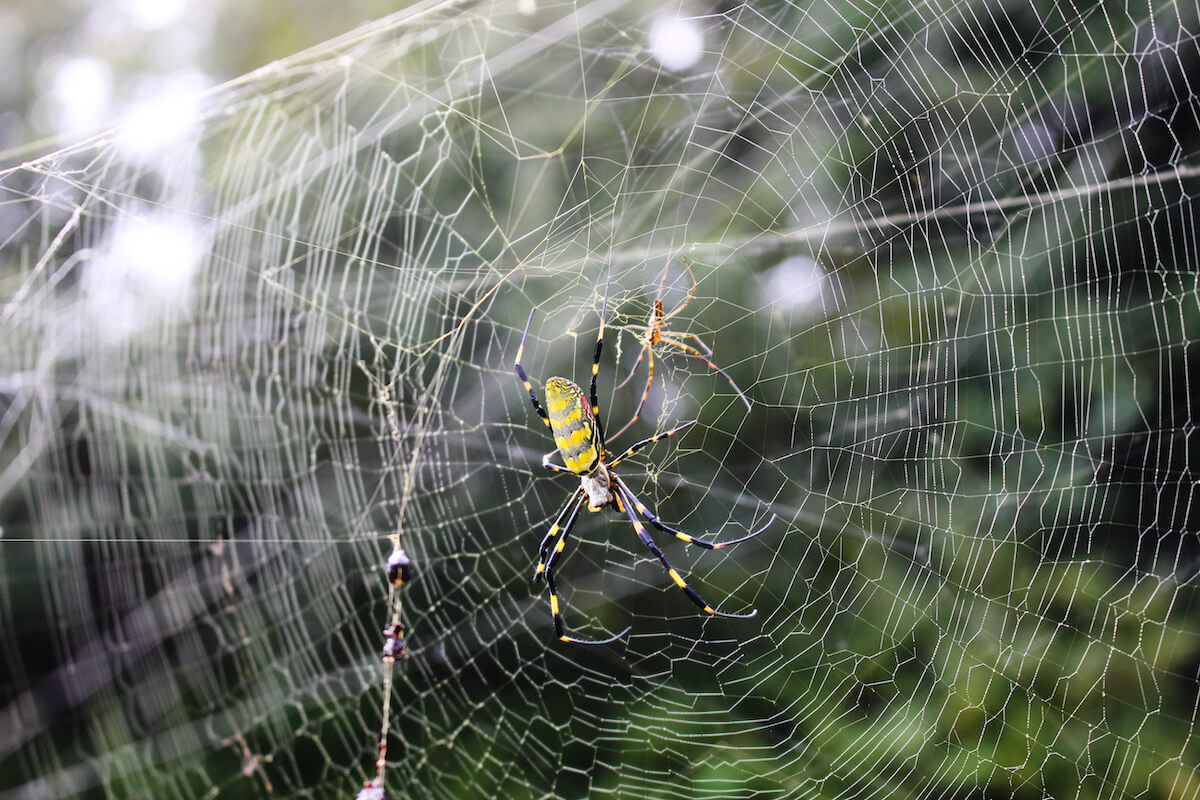 Large adult female Joro spider next to a much smaller brown male spider in a web. If numbers become bothersome, entomologist Rick Hoebeke recommends selectively reducing female spiders in your yard if they are overabundant.