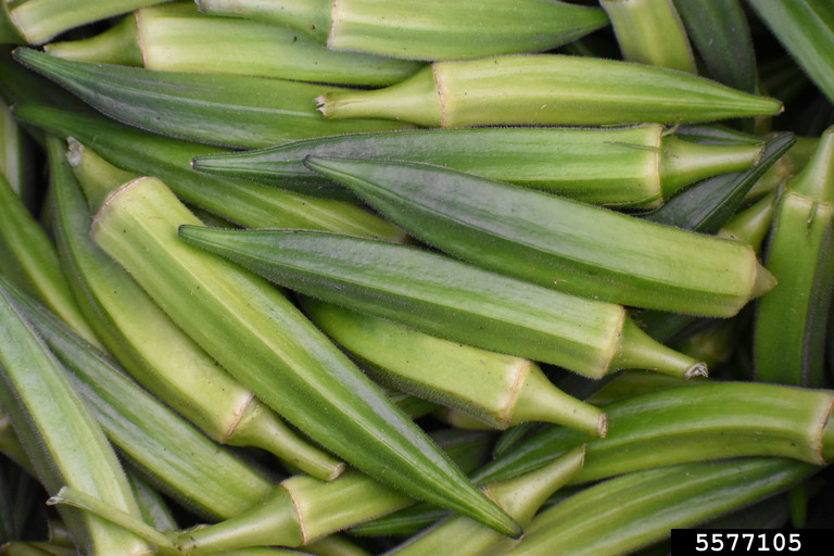 Okra is a Southern staple in the home garden and at the dinner table and can be grown throughout the state of Georgia. It is considered a warm season vegetable and is a member of the Mallow family, which includes plants such as cotton and hibiscus. This vegetable is both easy and fun to grow and can be used in many different culinary dishes and for dried flower arrangements. Photo by Rebecca A. Melanson, Bugwood.org