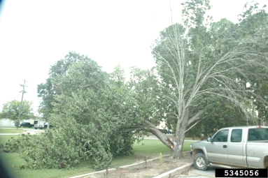 On average, Bradford pear trees live around 10 to 15 years, 20 with luck, and will literally begin to self-destruct with any storm winds that blow through.