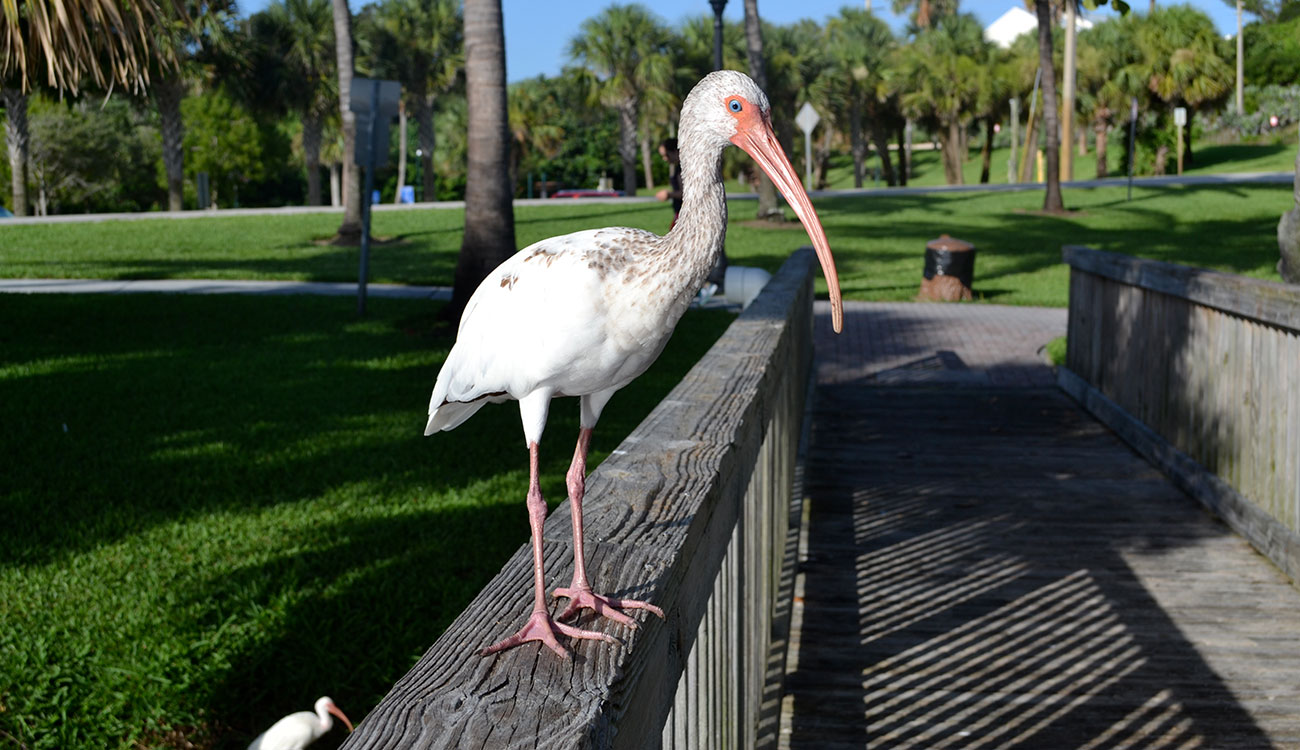 For more than a decade, UGA scientist Sonia Hernandez has led a team that's studying the health and behavior of the American white ibis as it moves from rural to urban areas in South Florida. Their research has implications for other urban wildlife, including coyotes, deer, raccoons and other wading birds. (Photo courtesy of Sonia Hernandez)
