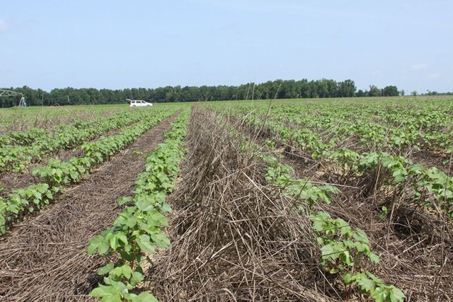 Cotton planted over a rye cover crop.