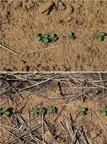 Cotton seedlings planted without (top) and with (bottom) rye cover crop.